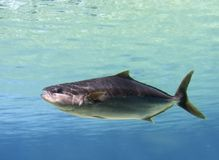 Cobia Stock Photo