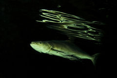 Cobia fish. Cobia (Rachycentron canadum) are perciform marine fish, the Rachycentridae. They have elongate fusiform bodies and broad, flattened heads. Their eyes Stock Image