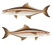 Cobia game fish vector illustration. Ocean life Stock Images