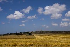 Cobine que colhe o campo de trigo Imagens de Stock Royalty Free