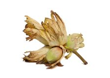 Cobnut - Hazelnut or Filbert Royalty Free Stock Photo