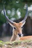 Cobo dell'Ellisse antilope portrait. With huge horns Stock Image