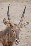 COBO (ellipsiprymnus del Kobus) Fotografie Stock