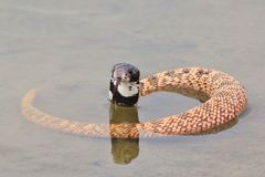cobra à tête noire Bouclier-flairé - fond de serpent venimeux - serpents rares du monde Images libres de droits