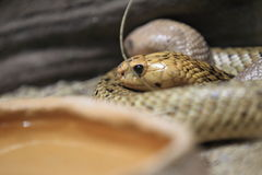 Cobra ακρωτηρίων Στοκ Εικόνες
