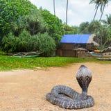 Cobra βασιλιάδων στην άγρια φύση στοκ εικόνες με δικαίωμα ελεύθερης χρήσης