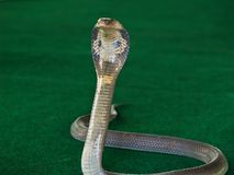 Cobra Royalty Free Stock Photo