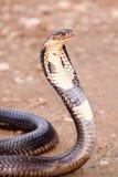 Cobra Imagen de archivo libre de regalías