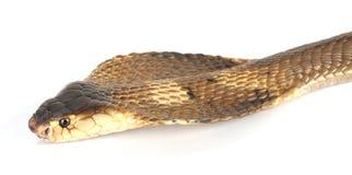 Cobra Stock Images