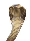 Cobra. A hooded cobra in strike position Stock Photo