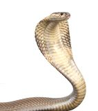 Cobra. A hooded cobra in strike position Royalty Free Stock Photography