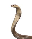 Cobra. A hooded cobra in strike position Stock Image