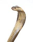 Cobra. Isolated king cobra on white royalty free stock photo