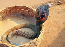 A cobra in a basket. A cobra raising its hood from a snake charmer's basket in rural India stock photography