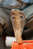 Cobra being charmed Stock Photography