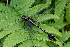 Skillet Clubtail Royalty Free Stock Photography
