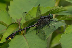 Cobra Clubtail Stock Photos