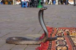 Cobra dances. Snake charmers cobra dancing at famous Marrakesh square Djemaa el Fna, Morocco Stock Images
