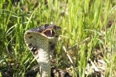 Cobra dans l'herbe photo stock