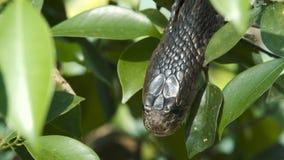 Cobra de expectoración indochina almacen de metraje de vídeo