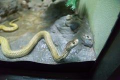 Cobra de expectoración de oro que se arrastra en roca y el gabinete de cristal imagen de archivo