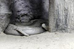 Cobra de la piel Fotografía de archivo