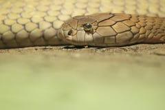 Cobra de rei Imagem de Stock Royalty Free