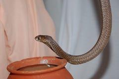 Cobra de rei foto de stock royalty free