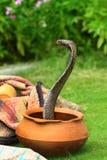 Cobra de rey Fotografía de archivo