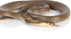 Cobra de rey aislada Foto de archivo libre de regalías