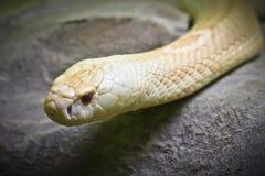 Cobra de roi albinos image libre de droits