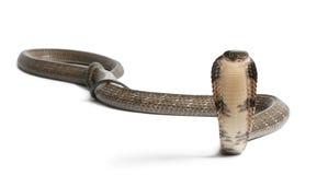 Cobra de roi - Ophiophagus Hannah Photos libres de droits