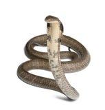 Cobra de roi - Ophiophagus Hannah Image stock