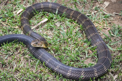 Cobra de roi toxique de serpent dans l'Inde Photos libres de droits