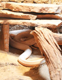 Cobra del albino Imagenes de archivo