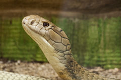 Cobra Stock Photography