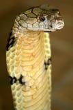 Cobra di re Fotografia Stock Libera da Diritti