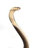 Cobra di re isolata Immagine Stock