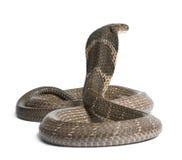 Cobra di re - Ophiophagus Hannah Fotografie Stock Libere da Diritti