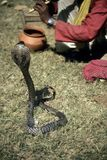 Cobra die voor slangenbezweerder presteert Royalty-vrije Stock Foto