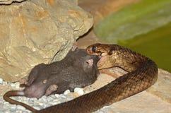 Cobra egípcia Fotografia de Stock
