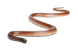 Cobra egipcia - haje del Naja, venenoso Foto de archivo libre de regalías