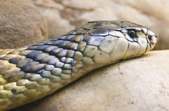 Cobra(Egyptian). Egyptian cobra captured slithering across a large rock royalty free stock photography