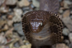 Cobra en la acción Foto de archivo libre de regalías