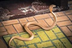 A cobra espalhou a capa imagens de stock royalty free
