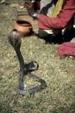Cobra exécutant pour le charmeur de serpent photo libre de droits