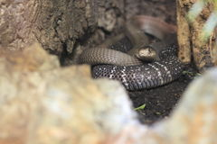 Cobra indiana Fotografia de Stock Royalty Free