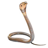 Cobra Stock Photos