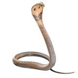 Cobra. Isolate on white background stock photos