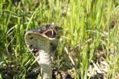 Cobra na grama foto de stock